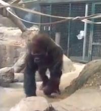 بالفيديو.. غوريلا غاضبة تفزع زوار حديقة حيوان - المواطن