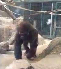 غوريلا غاضبة تفزع زوار حديقة حيوان