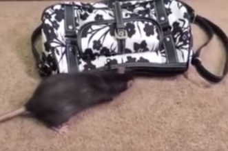 فيديو طريف.. فأر يسرق النقود من حقيبة نسائية بحيلة ذكية - المواطن