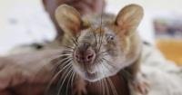 فئران-فأر