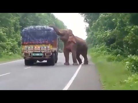 بالفيديو.. فيل جائع يقطع الطريق على شاحنة خضروات بالهند