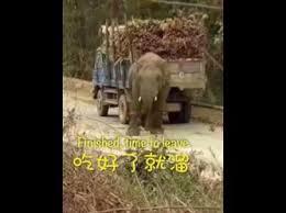 شاهد.. فيل جائع يقتحم طريقاً بحثاً عن الطعام - المواطن