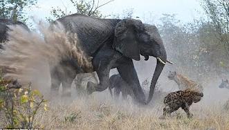 شاهد.. فيل يهاجم مجموعة من الضباع - المواطن