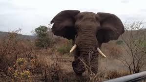 شاهد.. فيل غاضب يسحق مزارعًا حتى الموت - المواطن