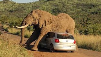 شاهد.. فيل غاضب يحطم سيارة بداخلها ركاب - المواطن