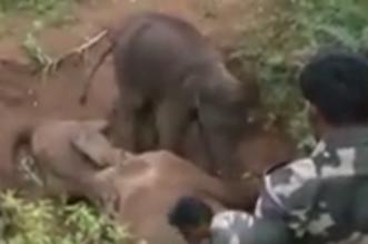 """شاهد.. """"فيل صغير يحمي """"جثة أمه - المواطن"""