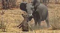 شاهد.. فيل يقتل صغير الجاموس بطريقة وحشية - المواطن