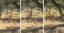 فيل يقف على قدميه الخلفية