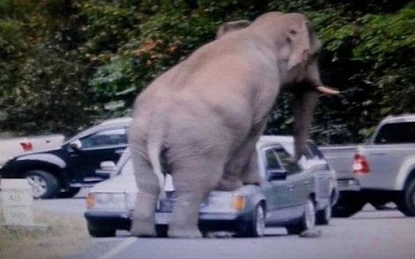 #تيوب_المواطن :فيل يهاجم سيارة في حديقة عامة في تايلاند - المواطن