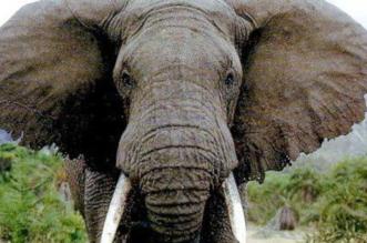 حدث في الرباط.. فيل يقتل طفلة بحجر - المواطن
