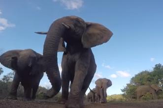 شاهد.. فيل يقذف كاميرا - المواطن
