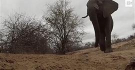 شاهد.. فيل يسرق كاميرا ويسير بها عدة أمتار - المواطن
