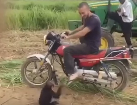 قرد يرفض النزول من على دراجة صابحه