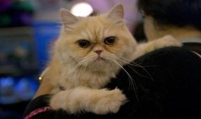 قطة - بدانة - الحيوانات - المنزلية