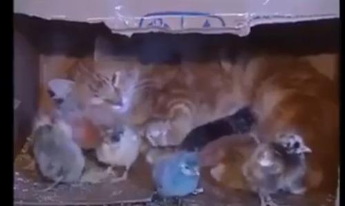 قطة تعتني بكتاكيت