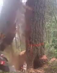 قطع شجرة