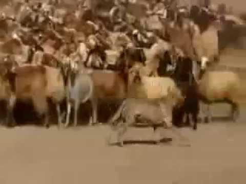 قطيع خراف