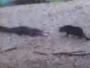 قط شجاع يهاجم تمساح