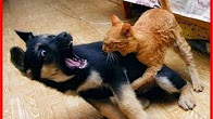شاهد.. قط مجنون يهاجم الكلاب