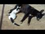 قط يرضع من كلب