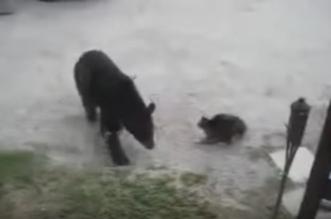 قط يهاجم دب