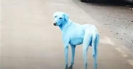 ليست فوتوشوب.. ما سر هذه الكلاب الزرقاء؟ - المواطن