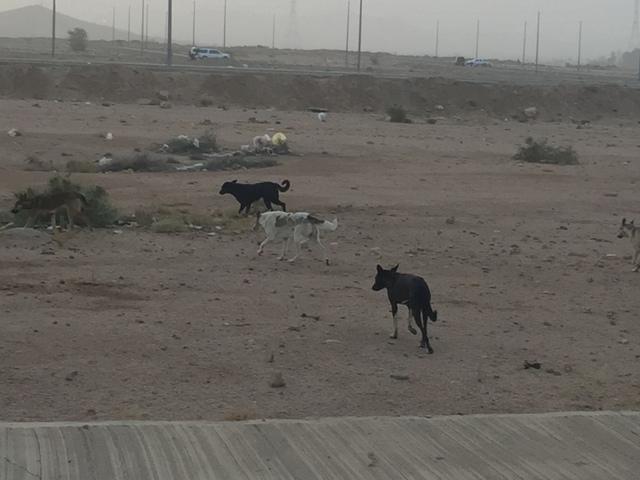 كلاب ضالة بالطائف (7)