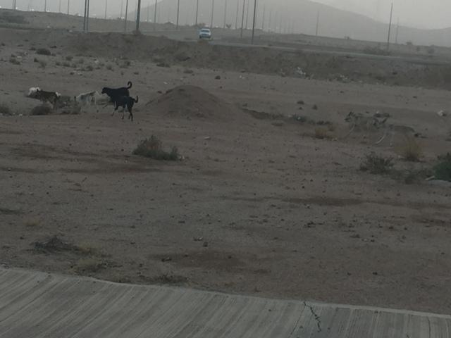 كلاب ضالة بالطائف (8)
