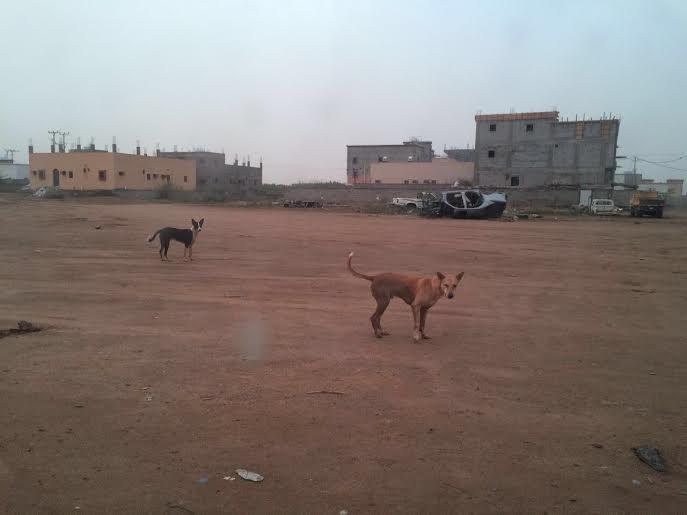 كلاب ضالة1
