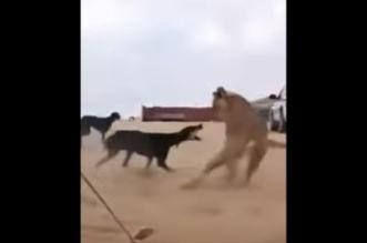 كلب صيد يهاجم اسد