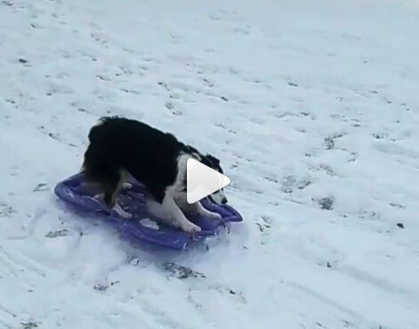 كلب يتزلج