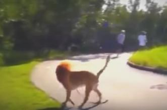 كلب يشبه الأسد