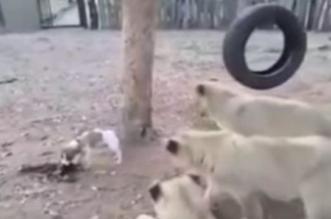 شاهد.. كلب صغير يهاجم أشبال الأسود دفاعًا عن فريسته - المواطن