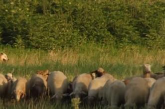 بالفيديو.. لبوة ترعى الأغنام في داغستان - المواطن