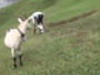 -الماعز-أبرز-الفائزين-بجائزة-نوبل-للحماقة