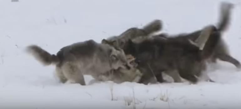 مجموعة ذئاب تمذق ثعلب