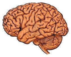 مخ الانسان