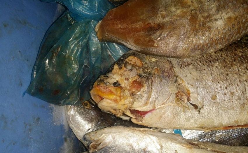 مصادرة 227 كيلو جراماً من الأسماك الفاسدة ببلدية القطيف2