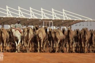 مهرجان الملك عبدالعزيز للإبل 3