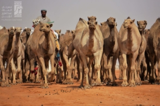 مهرجان الملك عبدالعزيز للإبل يشكر المسجلين في دورته الجديدة - المواطن