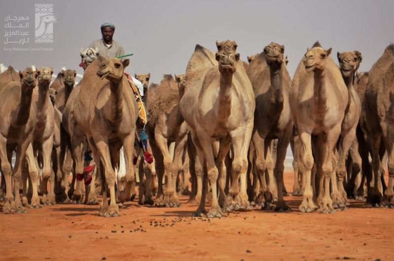 إدارة مهرجان الملك عبدالعزيز للإبل تعلن الاستعدادات للمهرجان