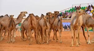 قافلة الدهناء بمهرجان الملك عبدالعزيز للإبل.. مسيرة توثق الازدهار التجاري للجزيرة العربية - المواطن