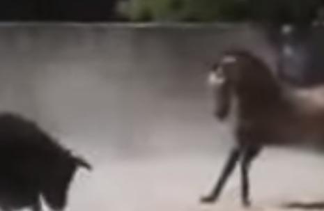 مواجهة بين حصان وثور