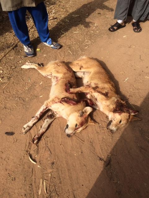 مواطن يقتل ذئبين انتقامًا لقتلهما 8 أغنام و200 دجاجة في الجوف (2)