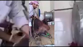 بالفيديو.. مواطن ينحر ناقة احتفاء بهذا الأمر - المواطن