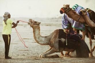 700 سعودي وخليجي يشاركون في سباقات ميدان ينبع للهجن - المواطن
