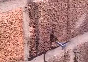 نحلة تُسقط مسمارًا حديديًّا من جدار