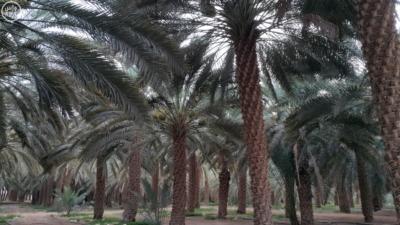 نخيل وادي الدواسر4