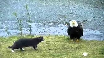 شاهد.. معركة بين قط ونسر عملاق