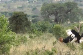 بالفيديو .. فيل يتدخل لإنهاء مشاجرة بين نعامتين - المواطن